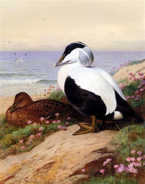 Common Eider Ducks, 1912 - Archibald Thorburn