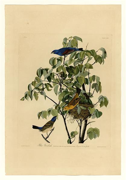 Plate 122 Blue Grosbeak - John James Audubon