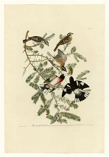 Plate 127 Rose-breasted Grosbeak - John James Audubon