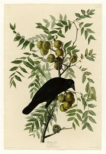 Plate 156 American Crow - John James Audubon