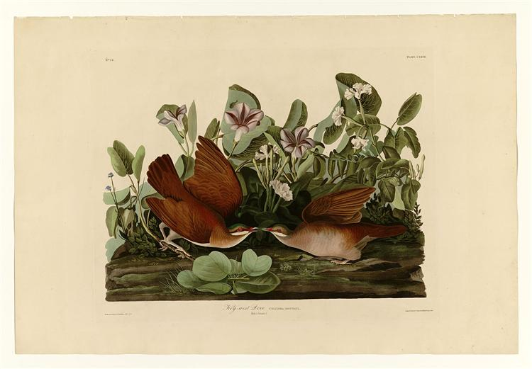 Plate 167 Key-west Dove - John James Audubon
