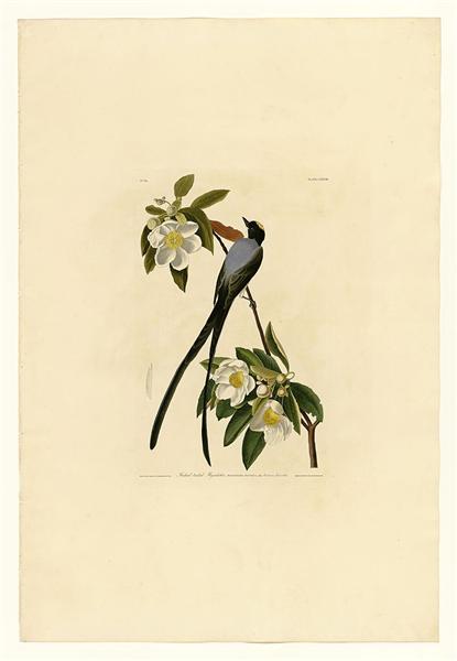 Plate 168 Fork-tailed Flycatcher - John James Audubon