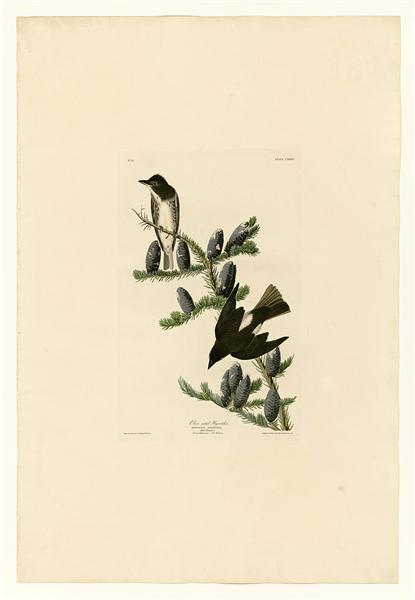 Plate 174 Olive sided Flycatcher - John James Audubon