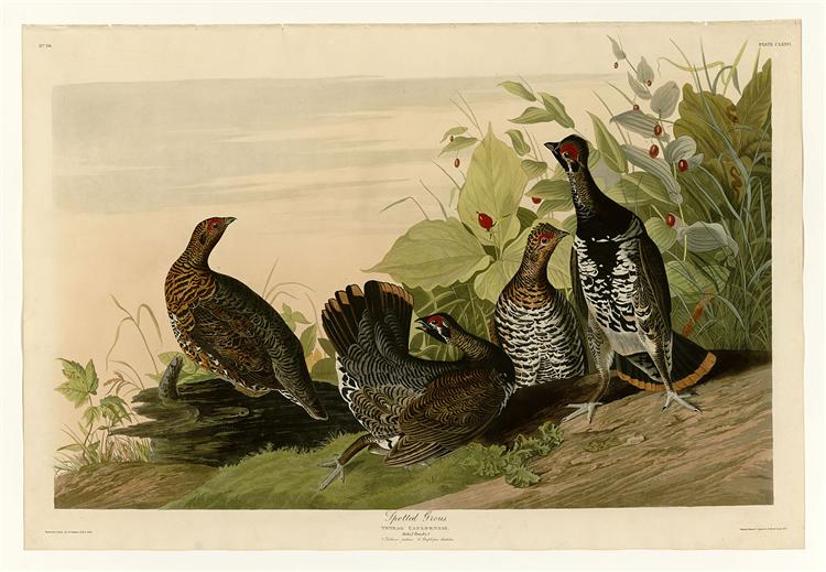 Plate 176 Spotted Grous - John James Audubon