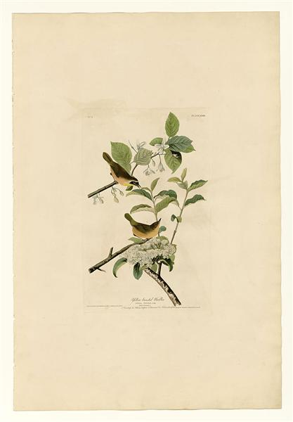 Plate 23. Yellow-breasted Warbler - John James Audubon