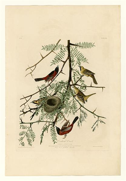 Plate 42. Orchard Oriole - John James Audubon