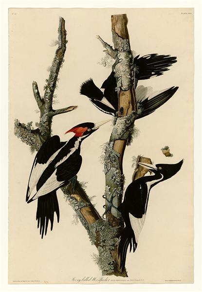 Plate 66 Ivory-billed Woodpecker - John James Audubon