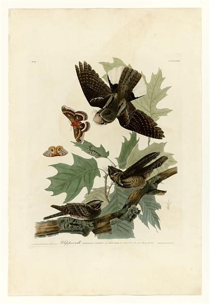 Plate 82 Whip-poor-will - John James Audubon