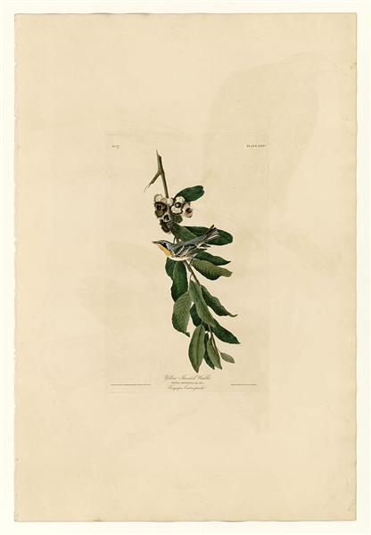 Plate 85 Yellow Throated Warbler - John James Audubon
