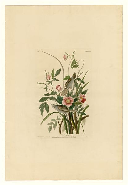 Plate 93 Sea-side Finch - John James Audubon