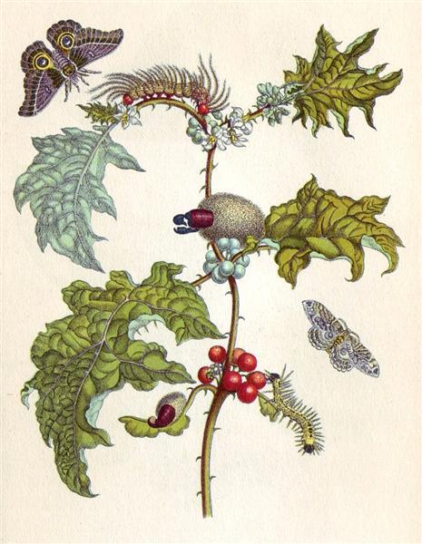 from Metamorphosis insectorum Surinamensium, 1705 - Maria Sibylla Merian